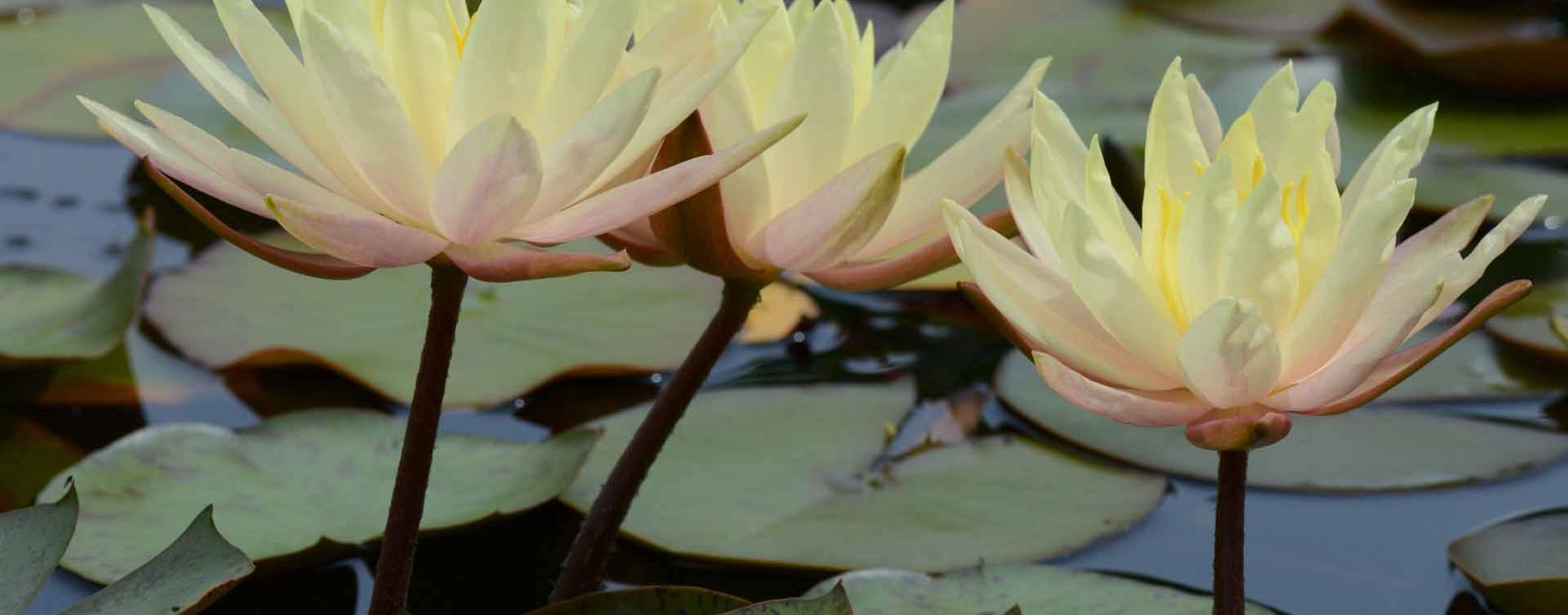 Nymphaea 'Texas Dawn'
